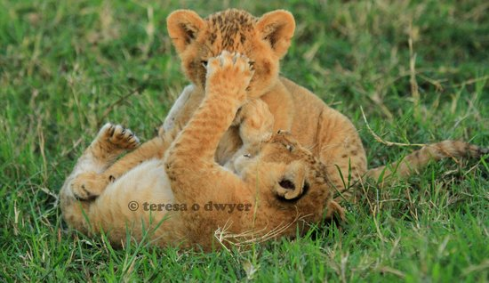 Julius Tact Safaris: Marsh Pride Cubs