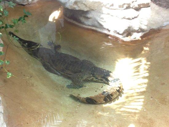 St. Louis Zoo: Alligators and Crocodiles.