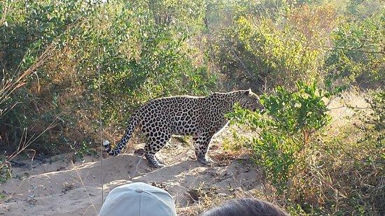 Motswari Private Game Reserve: Leopard