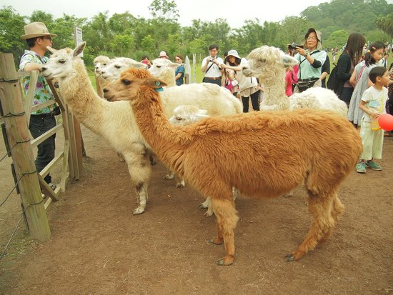 Green World Ecological Farm: Alpacca's time out -couldn't wait to get back in