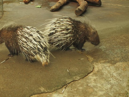 Green World Ecological Farm: Lots of fat porcupines