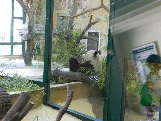 Tiergarten Schoenbrunn - Zoo Vienna: Панда-мама