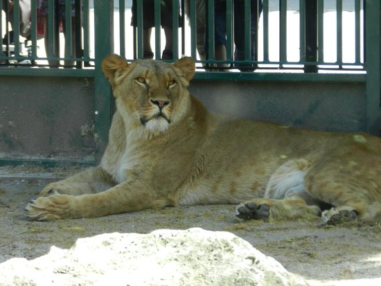 Tiergarten Schoenbrunn - Zoo Vienna: львица