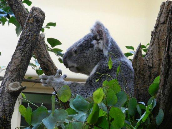 Tiergarten Schoenbrunn - Zoo Vienna: коала