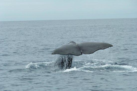 Azoren Walbeobachtung Terra Azul: Pottwal