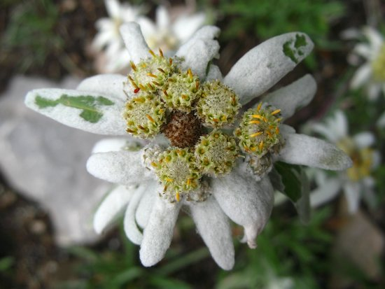 Verbier Excursions Tours: Edelweiss