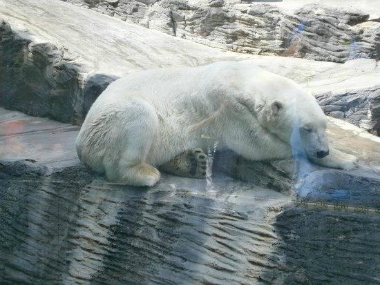 Prager Zoo: Polar bear