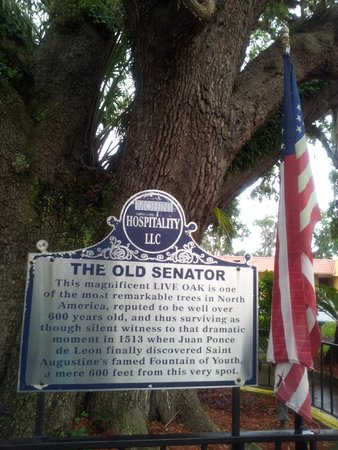 Howard Johnson Inn - Historic ST. Augustine FL: Description of the tree the motel was built around.