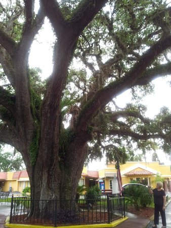 "Howard Johnson Inn - Historic ST. Augustine FL: ""The Old Senator"" live oak tree, so called because it's old, crooked, and shady. ;-)"