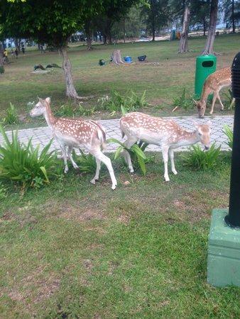 Sibu Island Resort: Deers in the garden