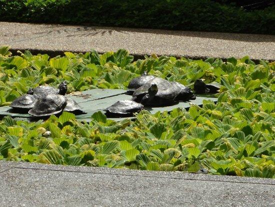 Decameron Decalodge Ticuna : Tartarugas do lago artificial. Vista do restaurante