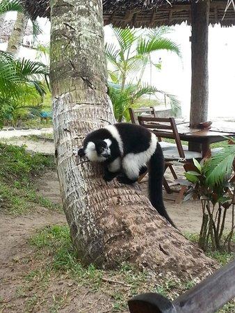 Hôtel La Pirogue : A lemur at the hotel area