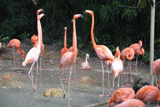 Jurong Bird Park: Flamingo