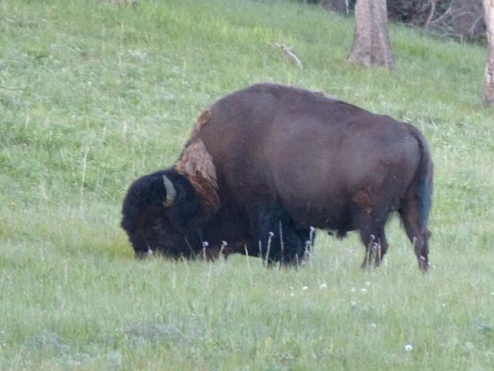 Lake Yellowstone Hotel and Cabins: One of the buffalo that decided to visit the Hotel lawn