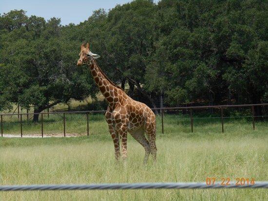 Natural Bridge Wildlife Ranch: Reticulated Giraffe