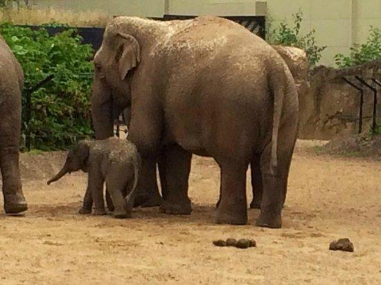 Dublin Zoo: The 3 day old elephant <3