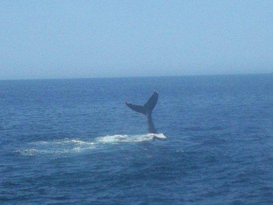 Cape Ann Whale Watch: Tail flap.