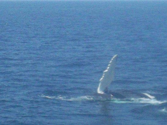 Cape Ann Whale Watch: Fin Flap. Can hear the fin hit the water.