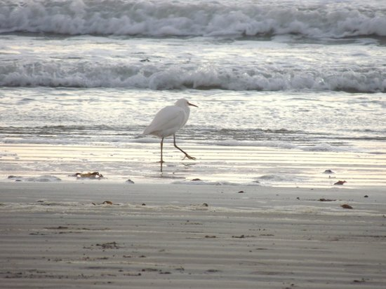 SeaCrest OceanFront Hotel: Birds in the surf