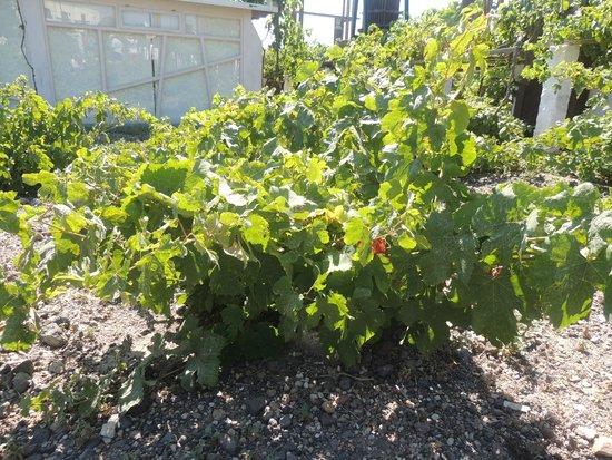 Santorini Wine Tour: Vine basket
