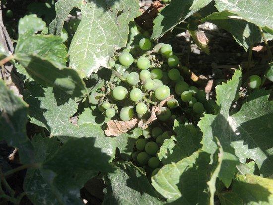 Santorini Wine Tour: Grapes