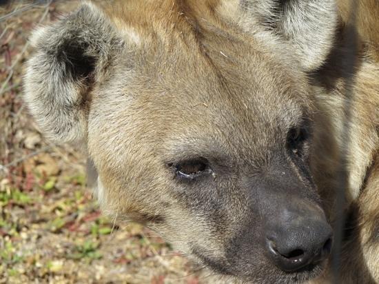Hyena 2014 Review Badplaas Images...