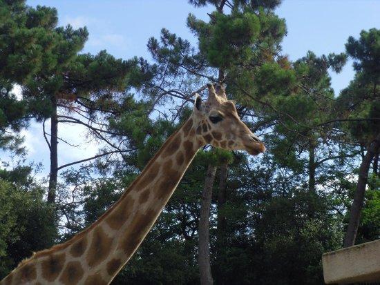La Palmyre Zoo : girafe