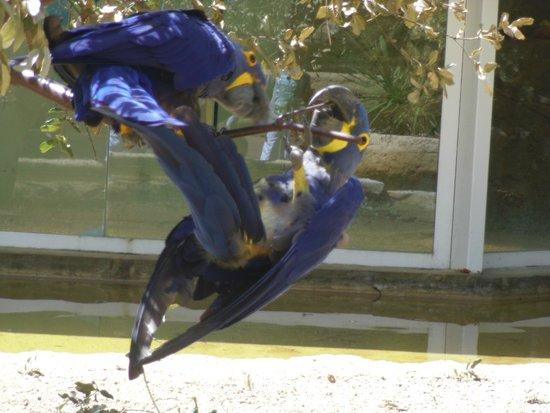 La Palmyre Zoo : ara bleu