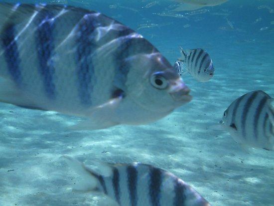 Black Pearl Charters: Scissor Tail Sargent Fish