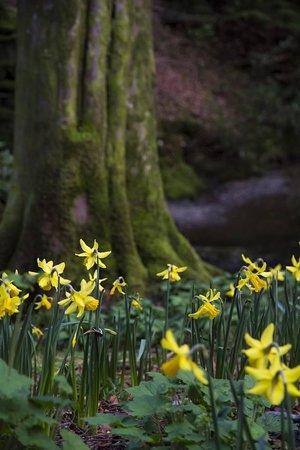 Rydal Water: Daffodils