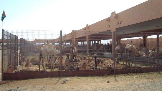 Arabian Adventures: La marché de chameau de Al Ain