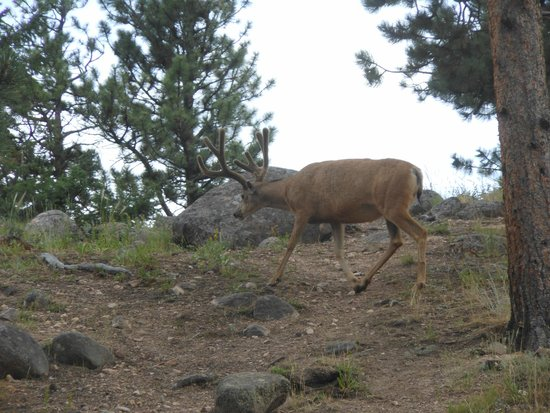 Moraine Park Campground : Mule Deer right by our site