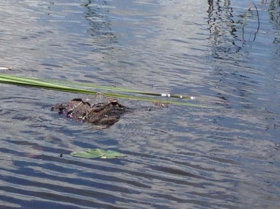 Everglades Holiday Park: One of the alligators we saw on the airboat ride.