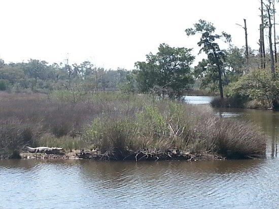 Gulf Islands National Seashore - Mississippi District - Davis Bayou: Gator