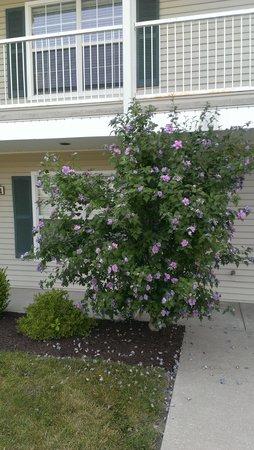 Silverleaf Holiday Hills Resort: lilac bush