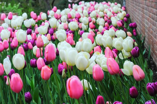 Atlanta Botanical Garden: Tulips in the Spring
