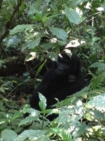 Sanctuary Gorilla Forest Camp: Gorilla Rushegura Family