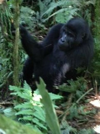 Sanctuary Gorilla Forest Camp: black back of the Rushegura gorilla family