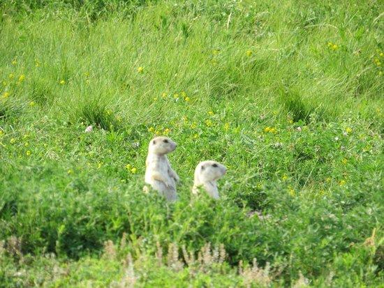 Prairie Homestead Historic Site: Prairie Dogs