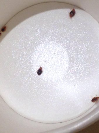 Rockville, MD : Bed bugs collected from our bed in room 423