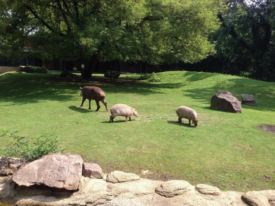 Kölner Zoo: Tapirs and capybaras