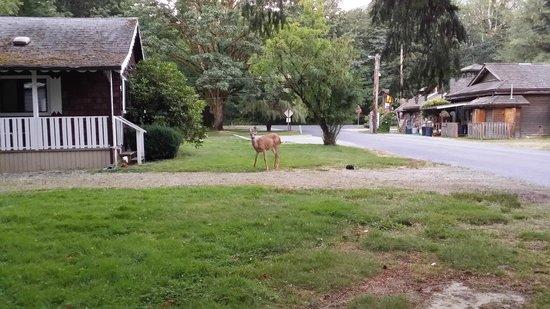 Skagit River Resort / Clark's Cabins : Deer and Rabbits