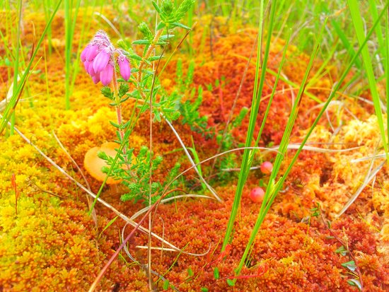 Clara Bog Visitor Centre: Heather, cranberry and fungi growing on cushions of sphagnum moss