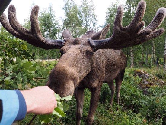 Nybro, Sverige: Die zutraulichen Elche fressen aus der Hand!