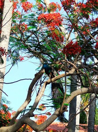 Natura Park Beach - EcoResort & Spa : peacock on the tree, hotel garden