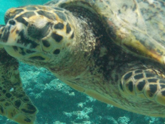 Green turtle sleeping on a sponge coral awesome - Manta dive gili air ...