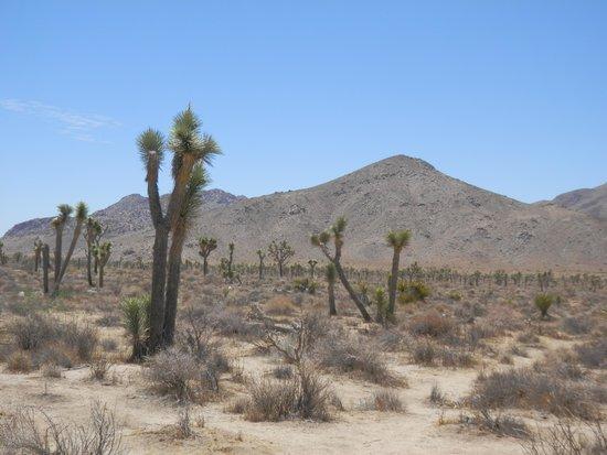 Joshua Tree National Park: ずっとこんな景色が続きます