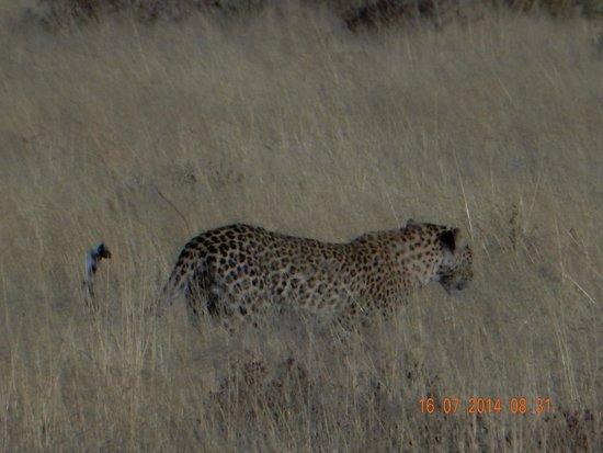 Halali Resort: Leopard