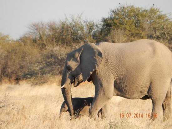 Halali Resort: Elephant with calf