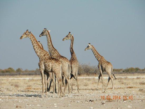Halali Resort: Giraffe